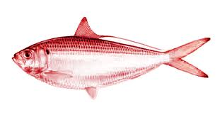 red_herring_1